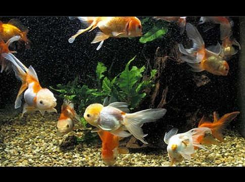 Tipi di pesci per acquario animali acquatici quali pesci for Pesci acqua fredda piccoli
