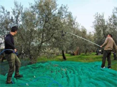 Come si preparano e si conservano le olive for Raccolta olive periodo